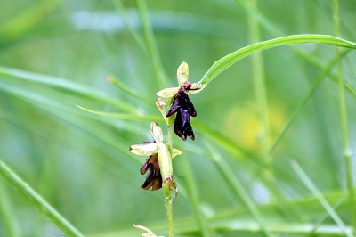 Ophrys mouche humide